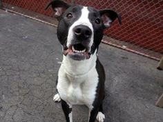 SAFE --- URGENT - Manhattan Center   LOLA - A0970322  *** RETURNED ON 2/20/14 ***   SPAYED FEMALE, BLACK / WHITE, AM PIT BULL TER MIX, 1 yr, 3 mos  OWNER SUR - ONHOLDHERE, HOLD FOR ID Reason MOVE2PRIVA   Intake condition NONE Intake Date 02/20/2014, From OUT OF NYC, DueOut Date 02/23/2014 Main thread: https://www.facebook.com/photo.php?fbid=763879703624911&set=a.617938651552351.1073741868.152876678058553&type=3&permPage=1
