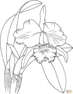 moth orchid coloring pages - photo#14
