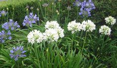Resultado de imagem para flores de jardim e seus nomes