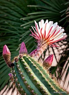 cactus blooming in the arizona desert.