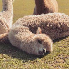 Super Cute Animals, Cute Little Animals, Cute Funny Animals, Alpacas, Happy Animals, Nature Animals, Animals And Pets, Cute Alpaca, Cute Photos