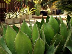 Agave bovicornuta – Cow Horn Agave - See more at: http://worldofsucculents.com/agave-bovicornuta-cow-horn-agave