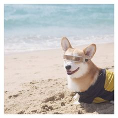 I beamed down from the Enterprise for Corgi Beach Day! #instagood #animal #L4L #photooftheday #FF