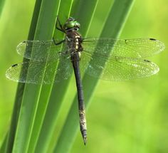 hine's emerald dragonfly   Hine's emerald dragonfly