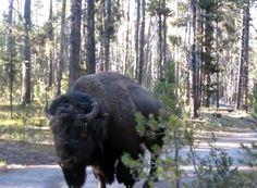 Surtout ne pas bouger... VIDÉO. Faire face à un bison et garder son calme