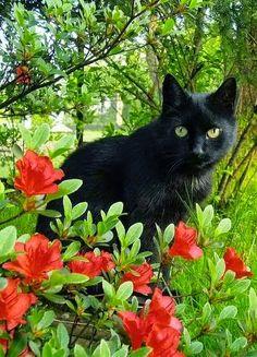 """Black"" ~ Photo by angel-kiyoss .... Black Cat & Red Azalea ...."