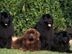 Domestic Dogs, Four Newfoundland Dogs Resting on Grass Valokuvavedos tekijänä Adriano Bacchella AllPosters.fi-sivustossa