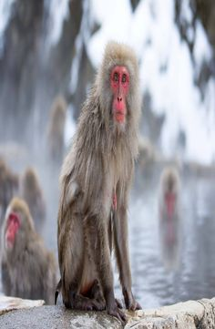 Jigokudani Snow Monkey Park is located in Yamanouchi district of the Japanese Alps. How to get to Jigokudani Snow Monkey Park. Snow Monkey Park, Japan, Japanese Dishes