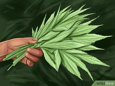 How to Trim Marijuana. Marijuana plants must be well cared-for and carefully harvested. Wear gloves and choose the time you trim your plants carefully. Trim the top off your plant to allow the leaves to get more light. Marijuana Plants, Hydroponic Grow Systems, Hydroponics, Buy Cannabis Online, Buy Weed Online, Marijuana Recipes, Growing Weed, Yellow Leaves, Gardens
