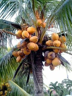 Coconut in Suriname