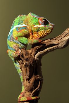 Photograph Panther Chameleon by Scott Cromwell on 500px