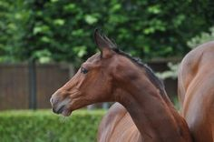 Classified SR. Casall ASK x Contender foalaction Borculo 2014.  Colt, mother jumps 1.35 m