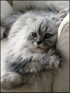 Time to relax - by DarkQueenShizuka on deviantART. This looks just like my Shaded Silver Chinchilla Persian, Alex.