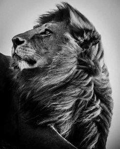"""Lion always in the wind Limited edition Photography by Laurent Baheux Saatchi Art Artist Laurent Baheux; Photography, """"Lion always in the wind Lion Photography, Wild Animals Photography, White Photography, Photography Office, Nature Animals, Animals And Pets, Cute Animals, Baby Animals, Amazing Animals"""
