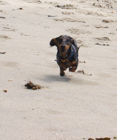 Flying Doxie