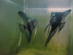 Pinoy Angelfish (pinoy angelfish kenneth s kennedy) Tags: