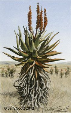 Original Sally Scott painting Aloe in the Veldt List Of Paintings, Farm Paintings, Paintings I Love, Botanical Drawings, Botanical Art, South African Artists, Plant Drawing, Yellow Art, Pictures To Paint