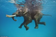The stunning set of photos show a whole host of sea creatures underwater, but this incredible shot shows an elephant, named Rajan, happily paddling as he swims beneath the surface, although it isn't known where the photo was taken