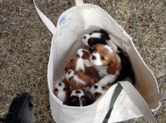 Tote bag filled with King Charles cavalier spaniel puppies
