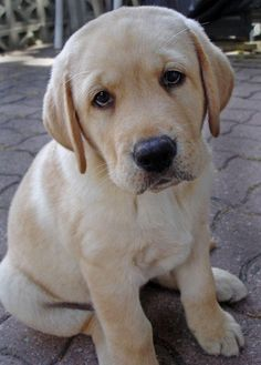 Yellow Labrador Retriever puppy. Wook at dem eyes! He is so precious! Wish they stayed this way forever!