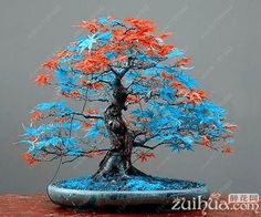 20 maple seeds bonsai blue maple tree