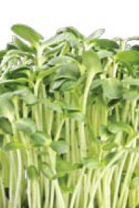 In Season: Sprouts   Natural Solutions