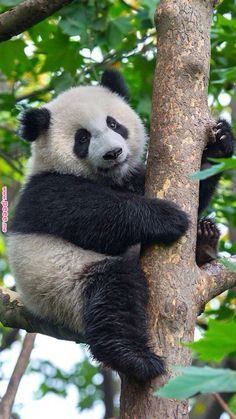 seeing pandas in Washington DC Niedlicher Panda, Panda Love, Cute Panda Baby, Big Panda, Cute Funny Animals, Cute Baby Animals, Photo Panda, Image Panda, Panda Mignon