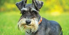 Ranked as one of the most popular dog breeds in the world, the Miniature Schnauzer is a cute little square faced furry coat. Smartest Dog Breeds, Best Dog Breeds, Small Dog Breeds, Raza Schnauzer, Schnauzer Puppy, Best Small Dogs, Best Dogs, Schnauzers, Shih Tzu