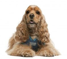 American Cocker Spaniel, 3 years old, dressed up and sitting in front of white background Stock Photo