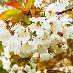 Something magical about spring blossoms. I think #spring is my favourite time of year #flowers #DH