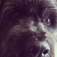 not a bear... ?! Bouvier dog