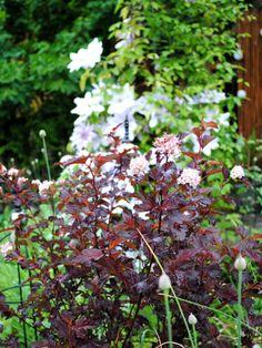 Rödbladig smällspirea 'Diabolo'. Skulle absolut vilja ha fler av denna rödbladiga buske. Me like!