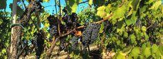 Italian-harvest-10005383.jpg (670×245)