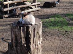 Geißlein im Tierpark LIndenthal #Koeln http://www.ausflugsziele-nrw.net/tierpark-lindenthal/