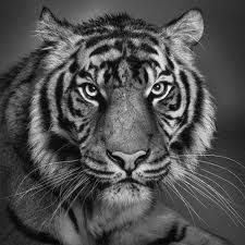 This picture of this tiger has a lot of value in real life . Seeing how the light source is coming from the middle right look how it shines on the rest of the tiger's face.