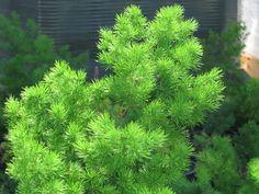 Asparagus retrofractus - pensasparsa