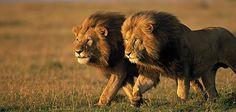 Two male lions in Kenya