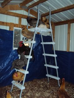 Ladder of fun for chickens