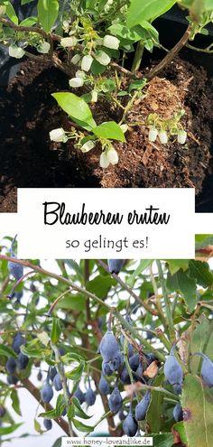 Heute zeige ich dir, wie man eine Heidelbeere im Topf hält und wie das mit der Ernte etwas wird! #Heidelbeere #Blaubeere Recycling, Cluster, Fruit, Repurposing, Yard Ideas, Plants, German, Inspiration, Blueberry