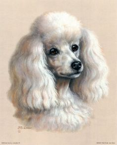 White Poodle Art Print opawz.com  supply pet hair dye,pet hair chalk,pet perfume,pet shampoo,spa....