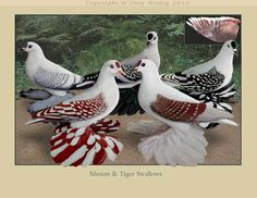 Pigeon art: Silesians & Tiger Swallow Pigeons by Gary Romig