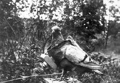 pigeon voyageur equipé d'un appareil photo début de la photographie aérienne