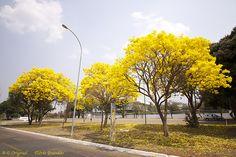 Série com o Ipê-amarelo em Brasília, Brasil - Series with the Trumpet tree, Golden Trumpet Tree, Pau D'arco or Tabebuia in Brasília, Brazil - 13-09-2012 - IMG_5175