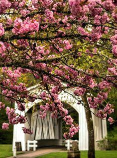 Pink tree blossoms and the Jordan Bridge in Stayton Oregon