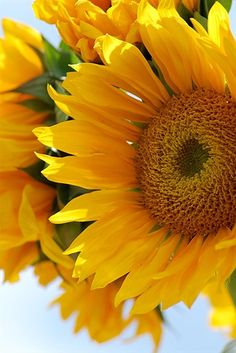 The most beautiful flower in the world! When I have my own garden one day, I'll breed an army of sunflowers!