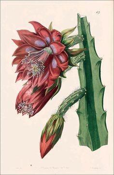 Santa Marta cactus   Edwards's Botanical Register, vol. 28: t. 49 (1842) [S.A. Drake]