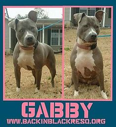 TOWER CITY, PA - GABBY is a Pit Bull Terrier for adoption in Tower City, PA who needs a loving home.