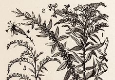 goldenrod drawing - Google Search Goldenrod Flower, Tattoo Ideas, Tattoo Designs, Thigh Tat, Tattoo Inspiration, Design Inspiration, 2d Art, Wild Child, Vintage Frames