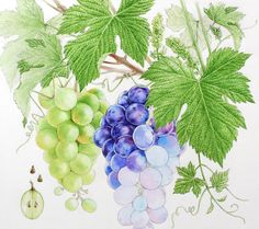 Watercolor fruits & berries on Behance Botanical Art, Botanical Illustration, Watercolor Fruit, Fungi, Adult Coloring, Berries, Behance, Painting, Watercolours