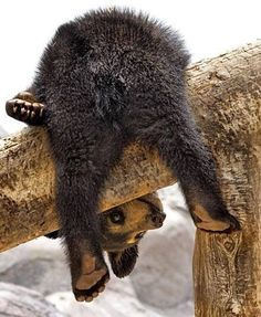 Bear cub hanging on a tree branch